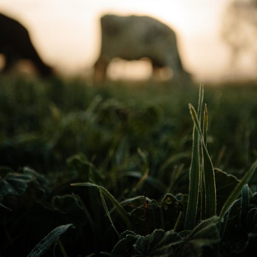 Cow grazing in a field