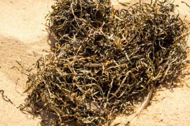 Evaluate the benefits of feeding your cattle seaweed
