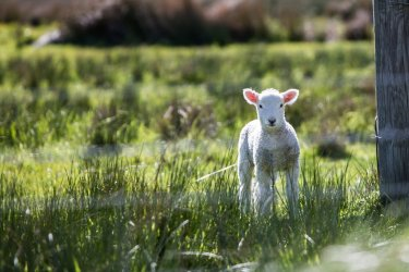 why it's time for the sheep industry to embrace change